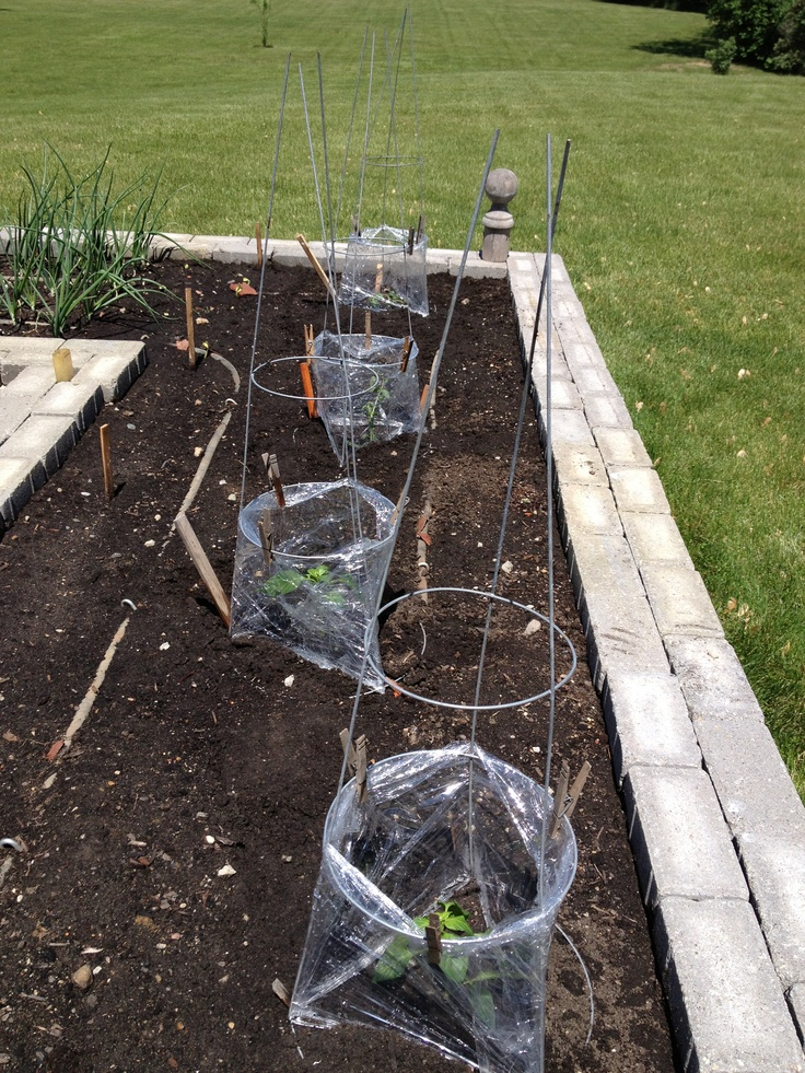 Little mini greenhouses for tomato/pepper plants from tomato cages and cling wrap. Protect them from the wind and keep them warm while small and vulnerable.