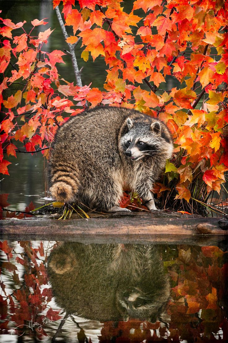110 best Raccoons images on Pinterest | Raccoons, Animal kingdom and ...