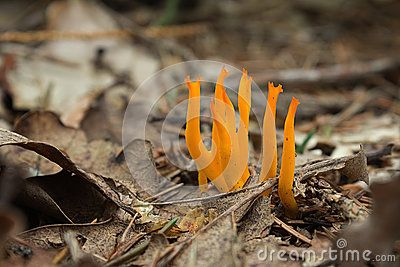 Yellow Antler Fungus - Calocera viscosa in forest