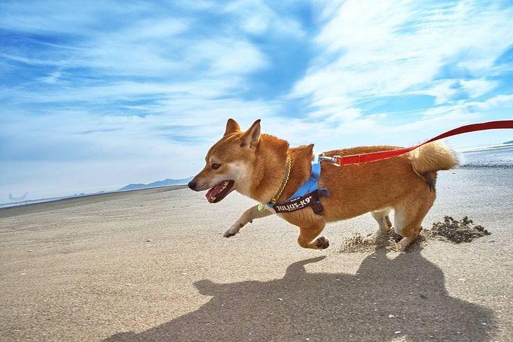 走れ拳走れダイナミックな走りの彼を見習って残り少ない2016年を駆け抜けよう #regram #わんこ #runningdog #beautifuldog . 記事に登場してくれるワンコを募集#inulog をつけて投稿してね 美犬写真は#wooftodayFOLLOW @inulog.jp  こんばんはWOOFOOです本日Woof of the Day! として拳さんのお写真を紹介させていただきましたAgainSony αシリーズすごく良さそうですね腕が伴うと