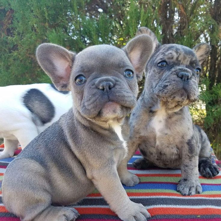 French bulldog puppies.