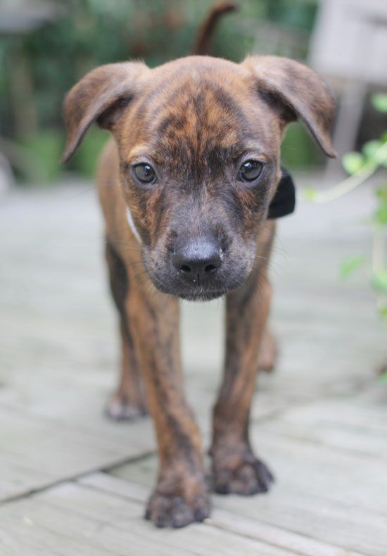 Plott Hound puppy. Plott hounds are the official state dog of North Carolina.
