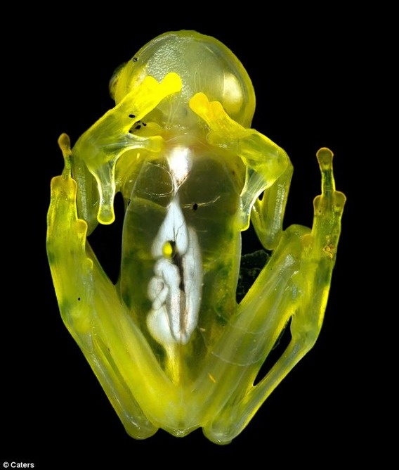 Observed up close look transparent frog guts to show through, the glass frog