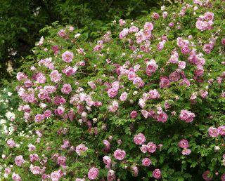 Suviruusu - -VI kork. 2 m/ lev. 2,5 m A Vaaleanpunaiset puolikerrannaiset kukat. Kukinta alkaa kesä-heinäkuun vaihteessa ja kestää noin 3 viikkoa. Kukat tuoksuvat melko voimakkaasti. Pitkänomaisia tumman ruskeanpunaisia kiulukoita kehittyy jonkin verran. Menestyy parhaiten syvämultaisessa, läpäisevässä, kalkitussa, tuoreessa maassa.