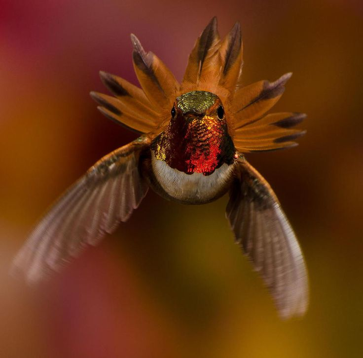 Best Hummingbirds Images On Pinterest Architecture Food And - Photographer captures amazing close up photos of hummingbirds iridescent feathers