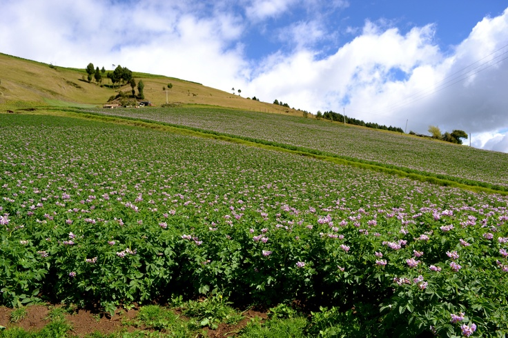 cultivo de papa, municipio de Tunja, Boyacá,colombia