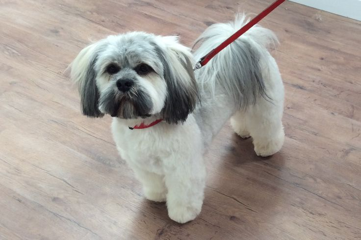 Picture of shaved lhasa apso-3921