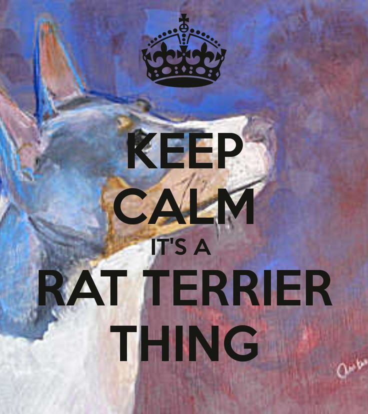 KEEP CALM IT'S A  RAT TERRIER THING