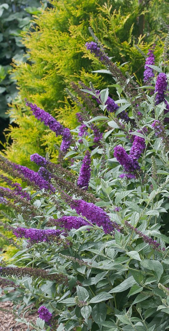 Greatest 13 best Butterfly Bushes images on Pinterest | Butterfly bush  ZK67