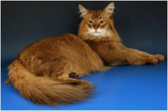 A Long Haired Cat