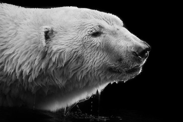 Homepage Of Wolf Ademeit Photographer Animals Black White - Powerful and intimate black white animal portraits by luke holas