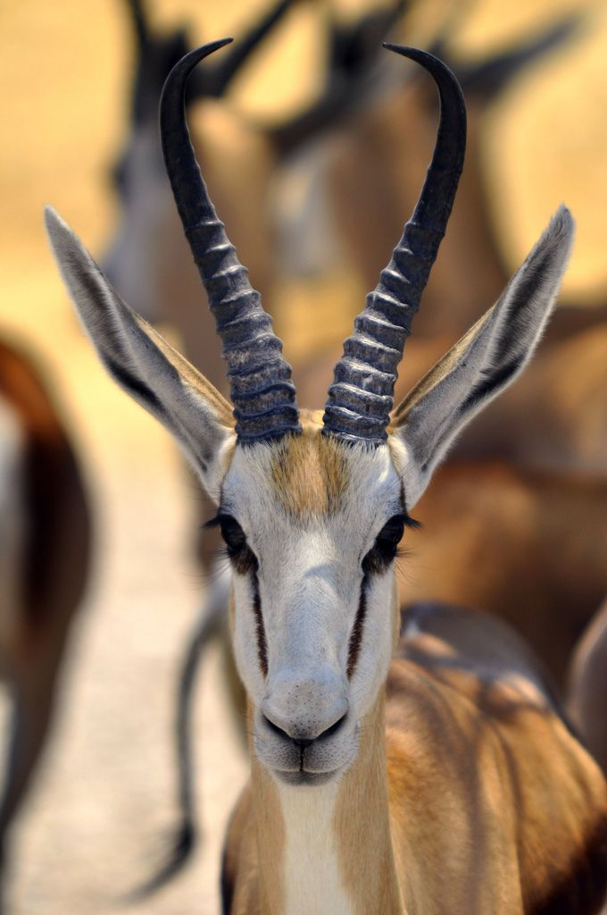 Springbok - the iconic South African antelope  www.creativearthexp.com