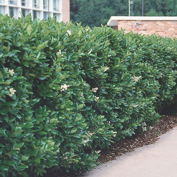 Privet Hedge Leaves