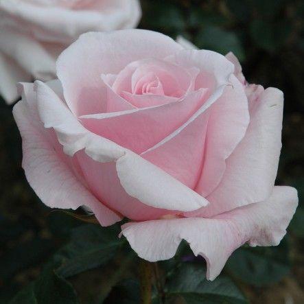 Anna Pavlova (Bush Rose)