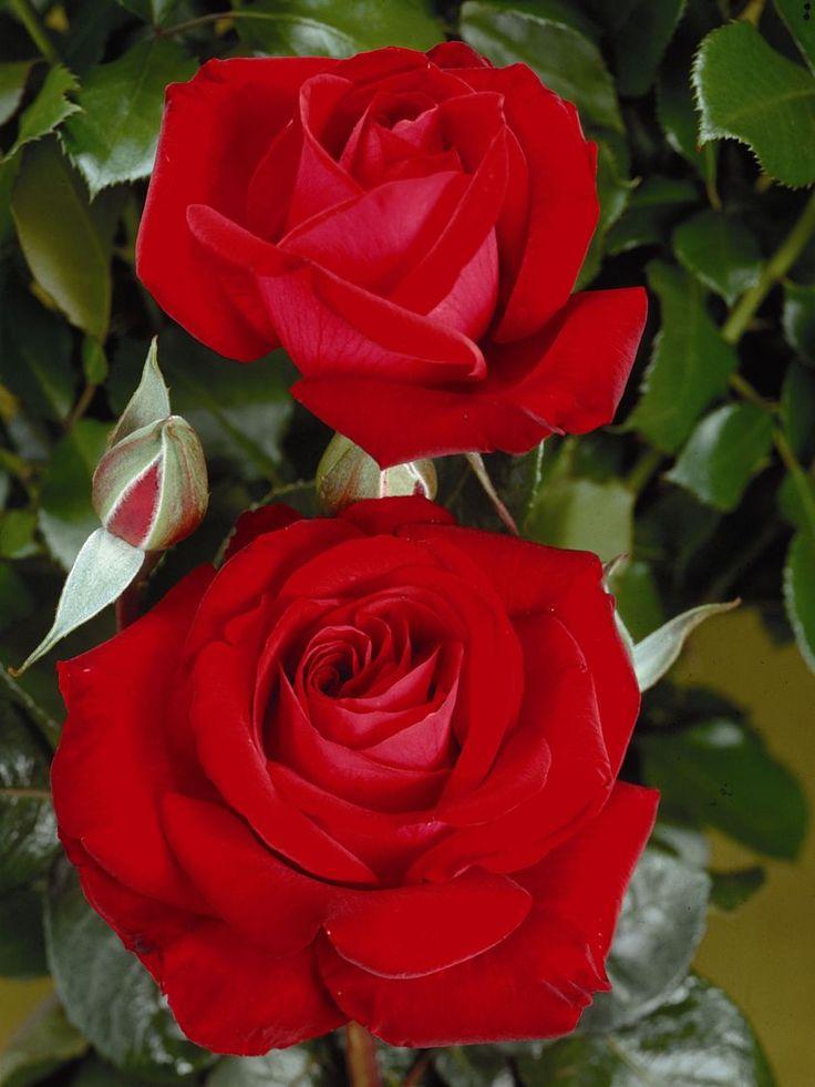 ....für mich soll's rote Rosen regnen......Tschüß Hannelore......10.11.2016
