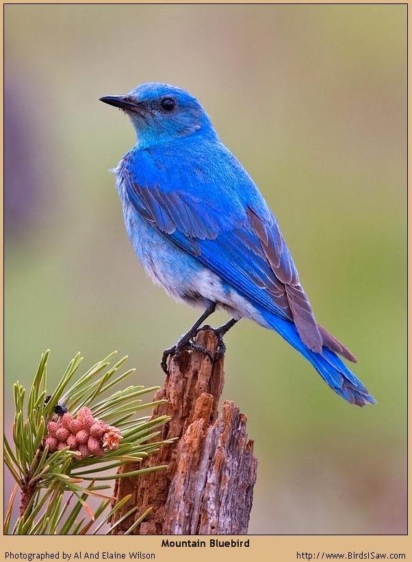 Another Colorado Mountain Bluebird Animals And Birds