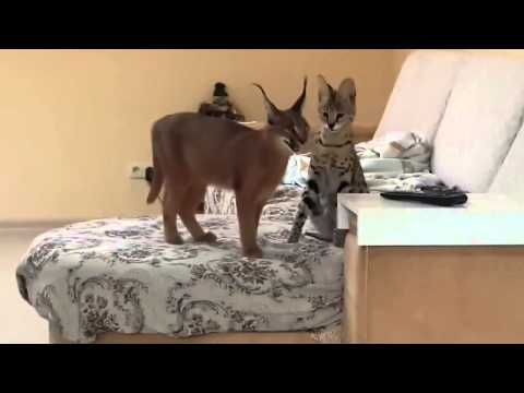 Cat serval and caracal are playing at home   Кот сервал и каракал играют дома - YouTube