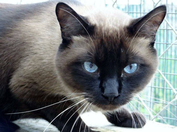 Meet Symon a Petfinder adoptable Siamese Cat | Oakwood, GA | Symon is a beautiful big Seal Point boy.  He loves attention and head rubs!!  He is approximately 3...