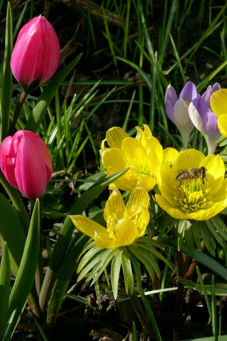 Tulpen, Winterlinge, Krokusse