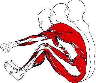 Les muscles sollicités lors de la pratique du rameur