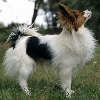 The Papillon (French word for butterfly), also called the Continental Toy Spaniel, is a breed of dog of the Spaniel type. Description from pinterest.com. I searched for this on bing.com/images