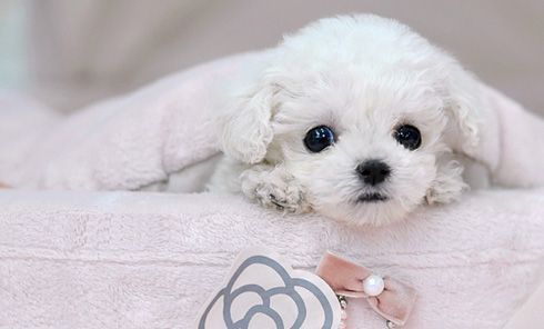 teacup poodle puppy. that little face is too cute :)