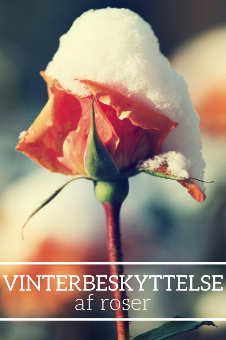 Vinterbeskyttelse af roser. #roser #rose #roses #rosa #vinter #winter #frost #kulde #beskyttelse #dækning #plantoramadk