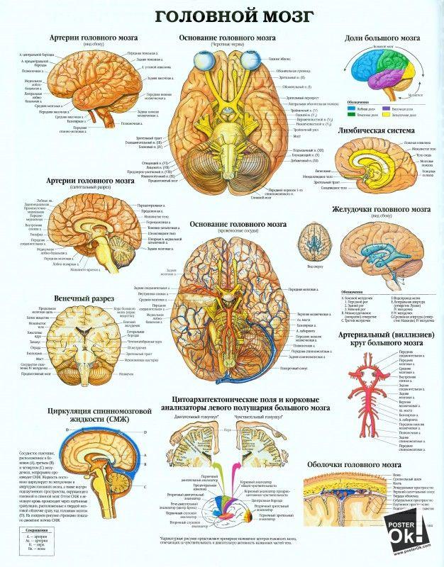 Головной мозг. 1.jpg (626×800). В наличии и англоязычный вариант.
