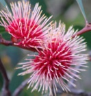 HAKEA laurina-Pincushion Hakea. Hakea laurina (Pin-cushion Hakea) is one of the most admired native plants of south-western Australia. One of my favourite native to the area plants!!