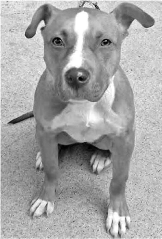 pit bull mix with terrier best 25 terrier pitbull mix ideas on pinterest american 1181
