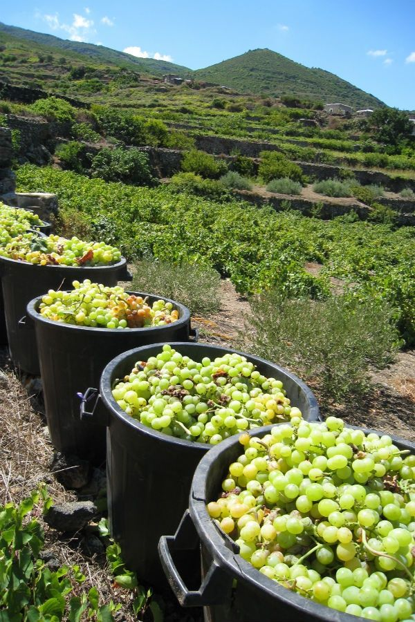 Grape Farm | Don't Tell Anyone about the Last Secret Italian Island | FATHOM Italy Travel Guides and Travel Blog