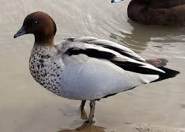 Image result for finschs duck