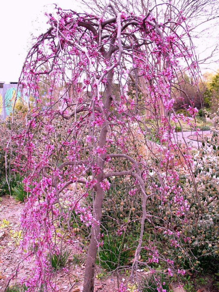 30 best images about my gardens how my gardens grow on for Pink small tree