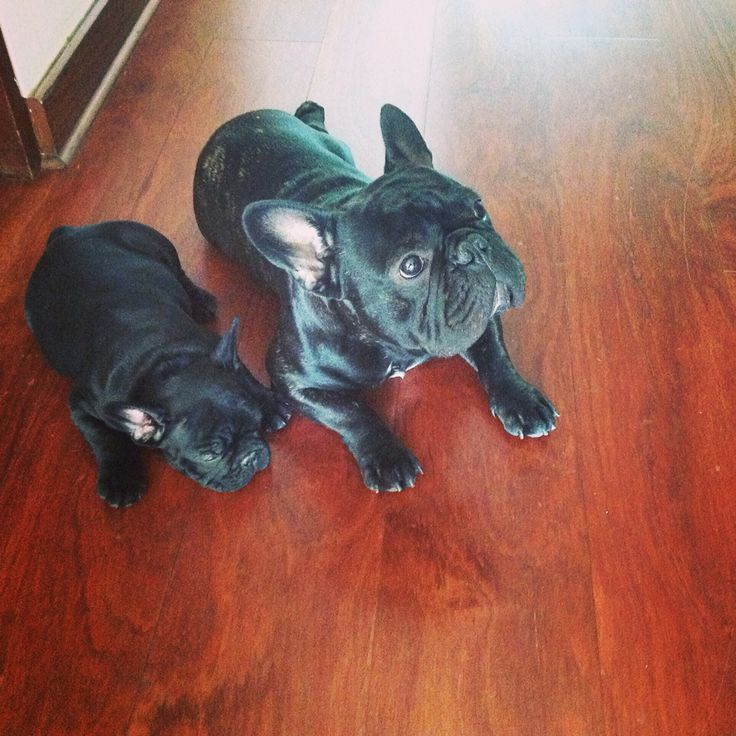 Wax frenchies