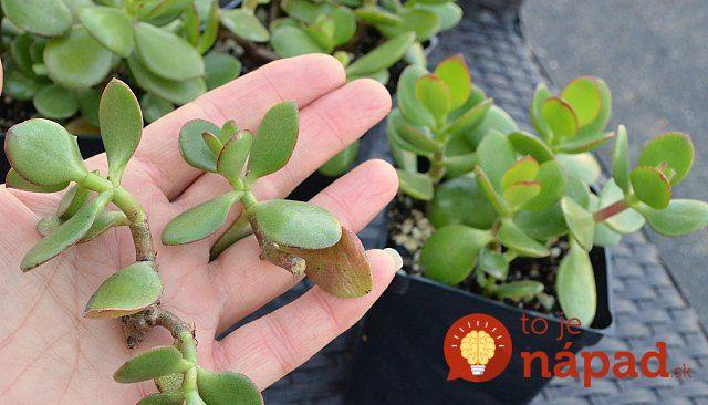 Máte doma túto rastlinu? Mali by ste si ju rozmnožiť, neuveríte, aká je užitočná!