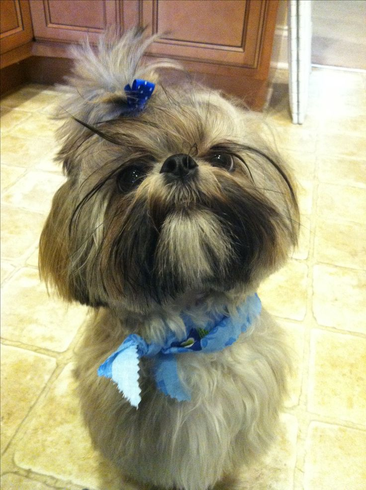 shih tzu summer cut 20 best images about shih tzu hair cuts on pinterest 860
