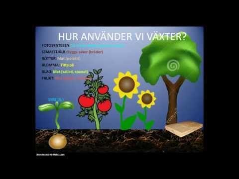 Växternas livscykel - Fotosyntesen - Växternas nytta - Årskurs 4 - YouTube