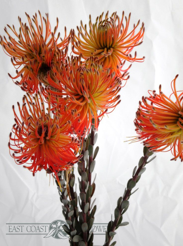 Leucadendron reflexum - pompom or tassel like flowers in autumn shades of red, orange, gold, and soft green-grey. Very unusual!