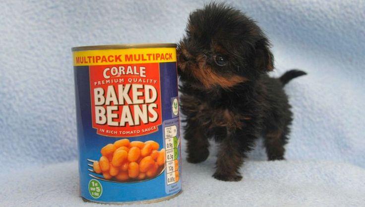 Tiny Tim: il cane così piccolo che sta in una scatola di fagioli | superEva