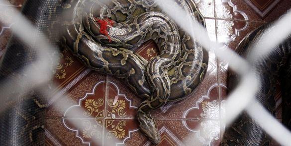 Serpiente pitón mata a guardia en Indonesia