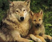 Stop Aerial Slaughter Idaho Wolves