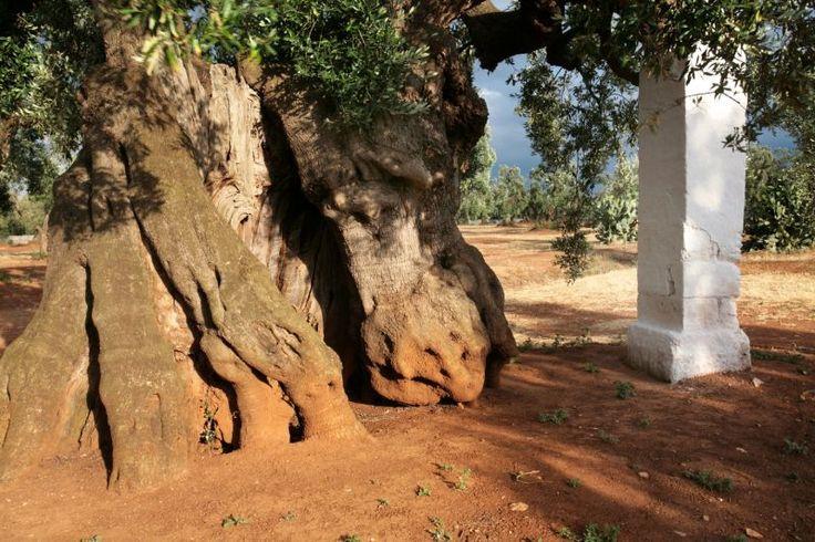 Una meravigliosa immagine di un tronco di Ulivo secolare. Lo puoi vedere nell'area del Parco Olivetato tra Ostuni e Fasano