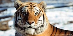 """Tell Congress: Don't Let Tigers Go Extinct   """"Tigers once ruled the jungles of Asia. Today, we have only 3,200 wild tigers left on Earth. Organized gangs of poachers hunt them down and sell their skins, bones, and other body parts for profit. As a result, tigers are now in serious danger of going extinct in the wild."""" Click for details and please SIGN and share petition to urge Congress to reauthorize the Multinational Species Conservation Fund and help save tigers from extinction."""