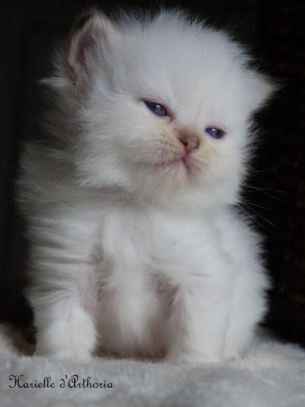 Harielle - Femelle - British longhair chocolat golden shaded point - #cat #chat #animal #babycat #kitten #bordeaux #britishlonghair #arthoria #breeder #breeding #cattery #chatterie #colorpoint