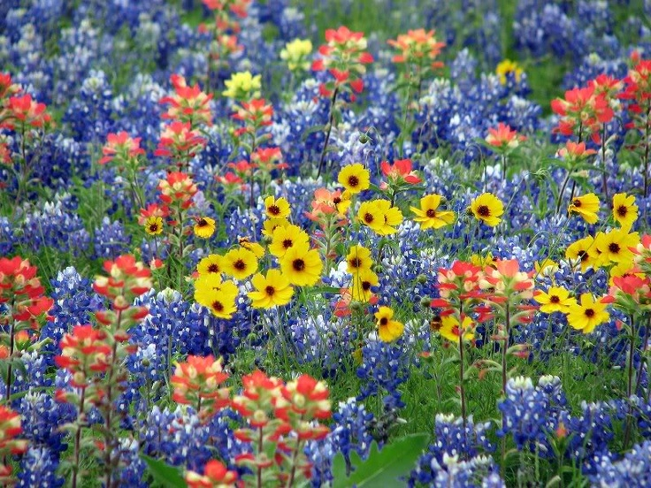 Texas Wildflowers Can 39 T Wait Beautiful Nature