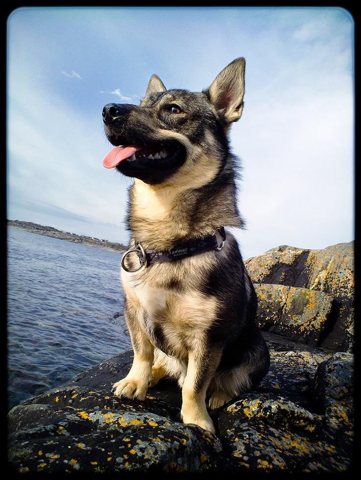 105 Best Images About Swedish Vallhund On Pinterest