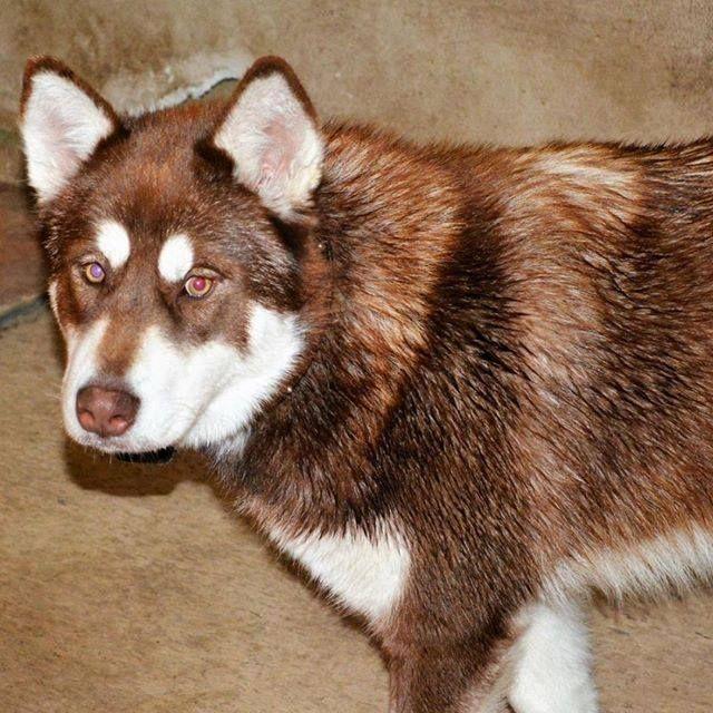Lost Dog Lakefield Alaskan Malamute Female Date Lost 12 02