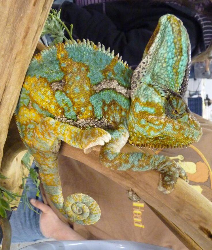 Best 25+ Chameleon Plant Ideas On Pinterest