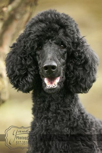 standard poodle - I adore my Princess Lily of the Nile! She is sooo human it is uncanny...