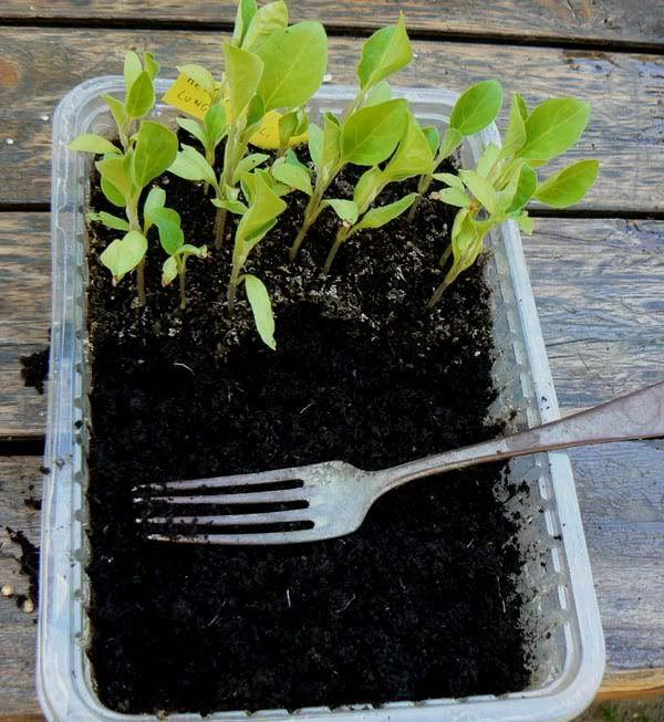 Farsi le piantine di ortaggi  di Paolo Basso     I sistemi per fare le piantine da trapiantare nel nostro orto sono parecchi, io utilizzo i ...